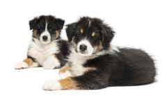 Two Australian Shepherd puppies, 2 months old, lying, focus on foreground agains Stock Photos