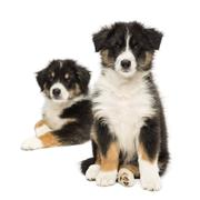 Two Australian Shepherd puppies, 2 months old, sitting with focus on foreground  Stock Photos