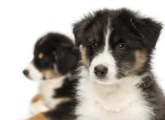 Close-up of Two Australian Shepherd puppies, 2 months old,  focus on foreground  - stock photo