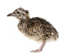 Elegant Crested Tinamou chick, Eudromia elegans, 1 day old, also known as Martin - stock photo