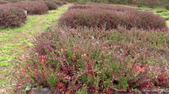Cranberry mossberry berry plants grow in farm plantation Stock Footage