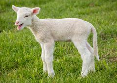 Lamb on grass Stock Photos