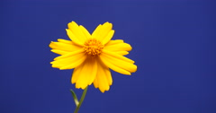 Yellow cosmos flower at blue screen Stock Footage