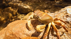 Climber crab - stock footage
