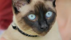 Siamese cat with bright blue eyes Stock Footage