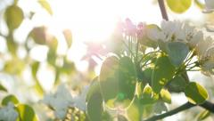 Flowers of apple blossoms. Slow motion - stock footage