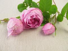 Damask roses Stock Photos