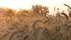 Ears of wheat at sunset lights. UHD, 4K Stock Footage