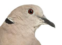 Eurasian Collared Dove, Streptopelia decaocto, often called the Collared Dove ag Stock Photos