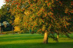 Big rowan tree and ripe berries Stock Photos