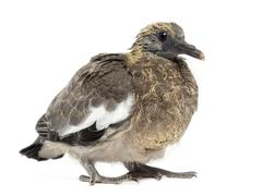 Young Common Wood Pigeon, Columba palumbus against white background Stock Photos