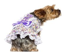 Rear view of Yorkshire Terrier, 7 years old, sitting, dressed and looking away a Stock Photos