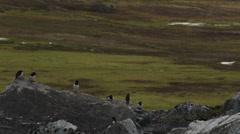 Little Auks on a coastal Rock - Medium Stock Footage