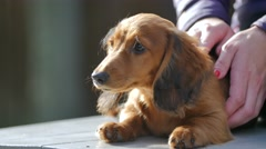 Red long-haired dachshund puppy dog Stock Footage