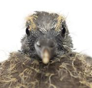 Portrait of Young Common Wood Pigeon, Columba palumbus against white background Stock Photos