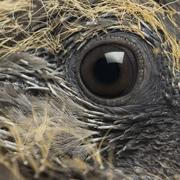 Young Common Wood Pigeon, Columba palumbus, close up on eye Stock Photos