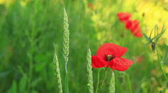 Poppies in wheat - stock footage