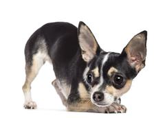 Chihuahua, 2 years old, looking away against white background - stock photo