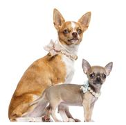 Two Chihuahua puppies, 4 and 7 months old, sitting and wearing collars, pearl an Stock Photos