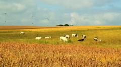 Ripe wheat (spelt) in anticipation of the harvest - stock footage