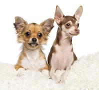 Chihuahua puppies, 4 months old and 5 months old, lying on white fur against whi - stock photo