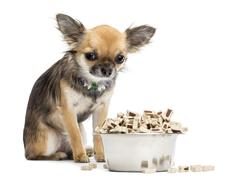 Guilty Chihuahua sitting next to bowl of food against white background Stock Photos