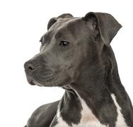 Close-up of an American Staffordshire Terrier puppy, 6 months old, looking away  - stock photo