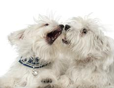Two Maltese dogs, 2 years old, play fighting against white background - stock photo