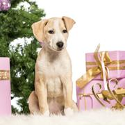 Stock Photo of Labrador sitting in front of Christmas decorations against white background
