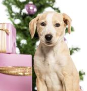 Close up of a Labrador in front of Christmas decorations against white backgroun - stock photo