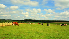 Cows on the field in Luxembourg. Stock Footage