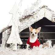 Chihuahua sitting and wearing a Christmas suit in front of Christmas nativity sc - stock photo