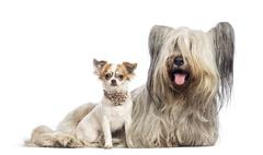 Chihuahua puppy 6 months old and Skye Terrier 5 years old sitting against white  - stock photo