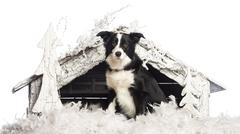 Border Collie sitting in front of Christmas nativity scene with Christmas tree a - stock photo