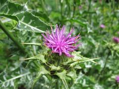 Flowering Mary thistle, Silybum marianum Stock Photos