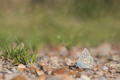 Common blue, Polyommatus icarus - stock photo