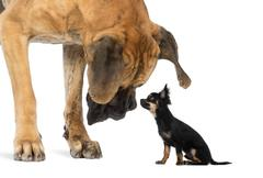 Great Dane looking at a Chihuahua sitting, isolated on white Stock Photos