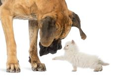 Great Dane looking at a kitten, isolated on white Stock Photos