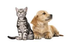 Golden retriever puppy lying next to British Shorthair kitten sitting, isolated  Stock Photos