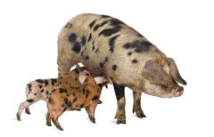 Stock Photo of Oxford Sandy and Black piglets, 9 weeks old, suckling sow against white backgrou