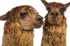 Close-up of Two Alpacas against white background - stock photo