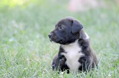 Cute amstaff puppy - stock photo