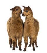 Two Alpacas against white background Stock Photos