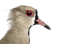 Close-up of a Pied Plover, Vanellus cayanus, also known as the Pied Lapwing agai - stock photo