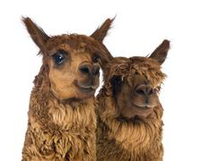 Close-up of Two Alpacas looking away and smiling against white background - stock photo
