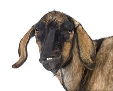 Close-up of an Anglo-Nubian goat with a distorted jaw against white background - stock photo
