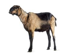 Anglo-Nubian goat with a distorted jaw, looking up against white background - stock photo