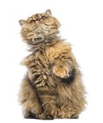 Selkirk Rex, 5 months old, sitting and looking up against white background - stock photo