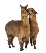 Alpaca whispering at another Alpaca's ear against white background - stock photo