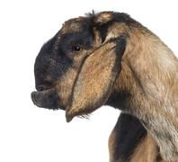 Close-up of an Anglo-Nubian goat with a distorted jaw, against white background - stock photo